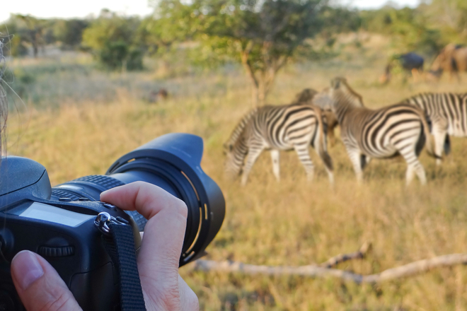 Taking photos on safari of zebra