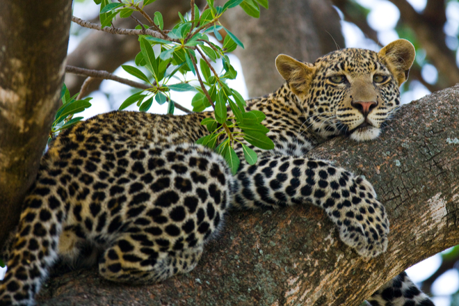 African Leopard in Serengeti National Park, Tanzania