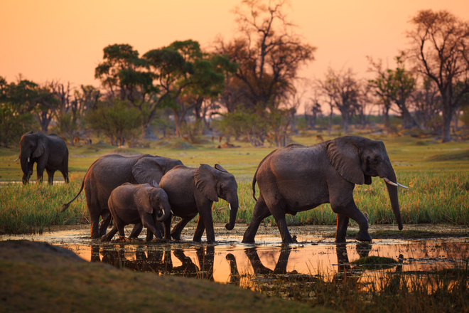 African elephants at sunset in Moremi Game Reserve, Botswana