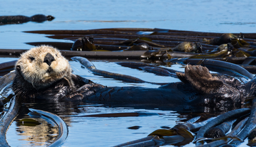 A sea otter floating among seaweed