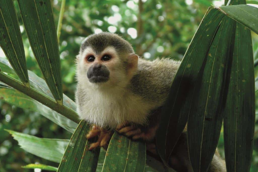 Costa Rica Monkey at Christmas
