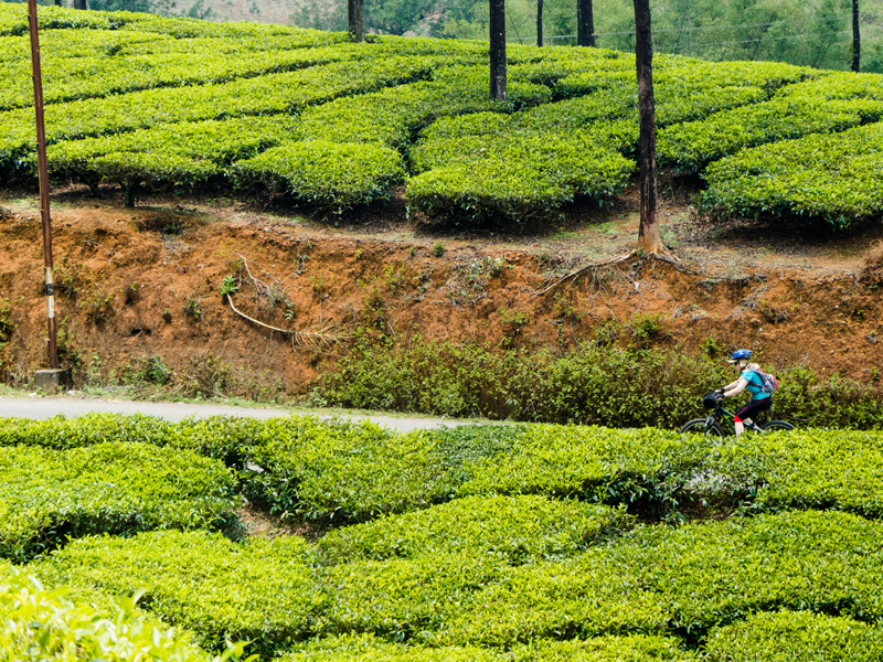 cycle kerala tea plantations