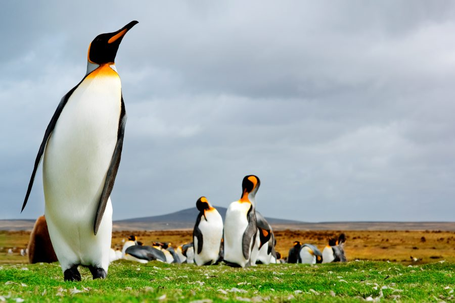 King penguins on land