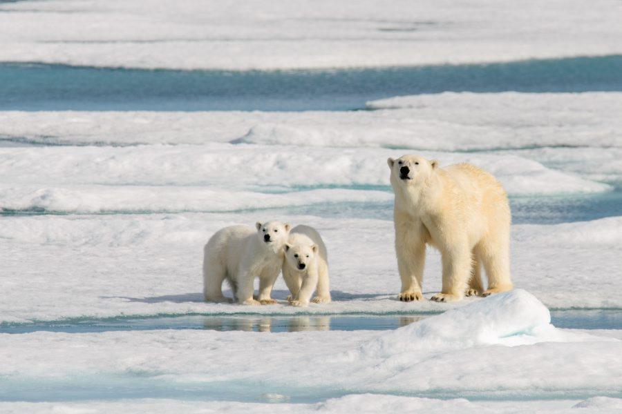 Polar bear, mother and cubs