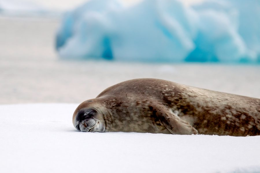 Sleeping Weddell seal