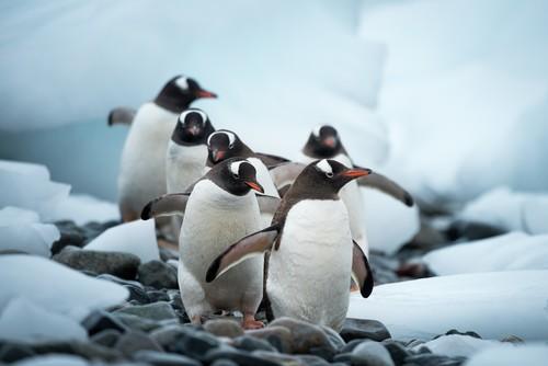 Gentoo penguins-Cuverville