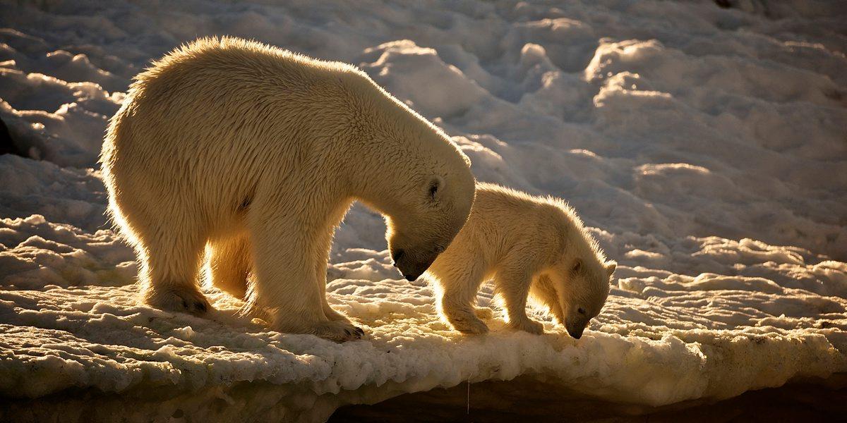 Polar bear and cub - Dominic Barrington