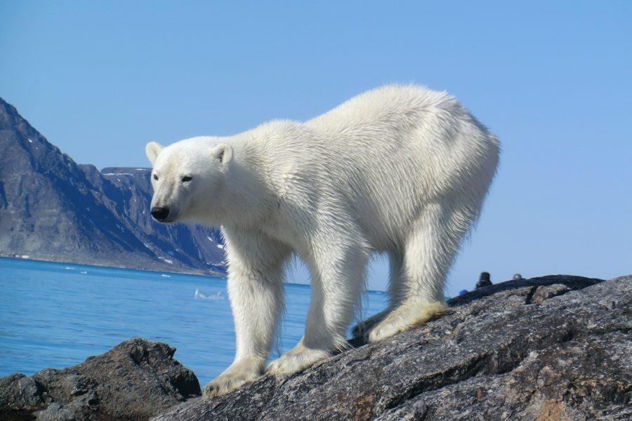 Polar bear on land - Anne Oyasaeter