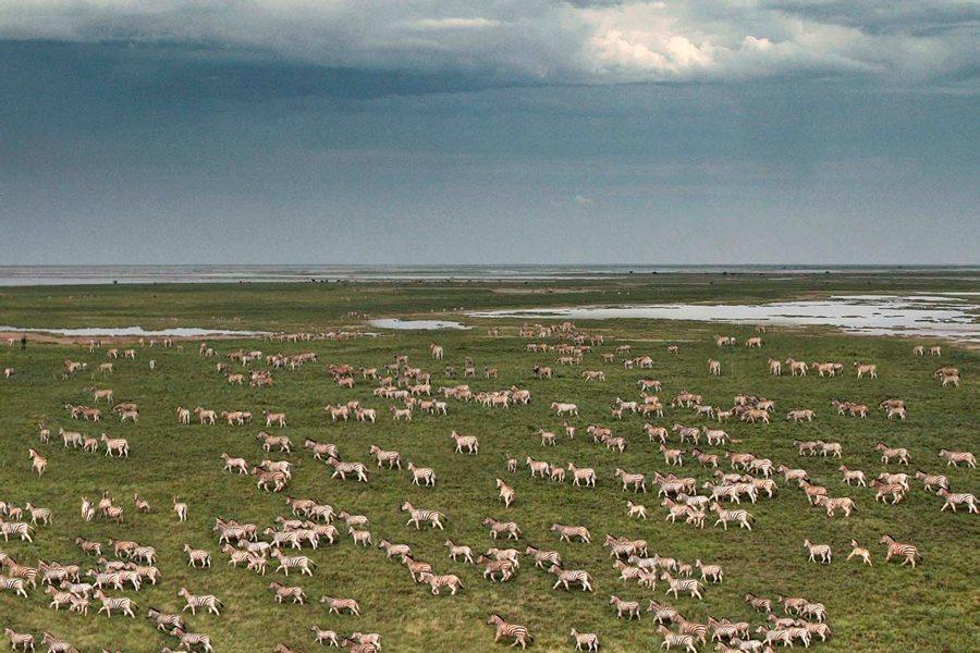Zebra migration, Camp Kalahari, Makgadikgadi Salt Pans