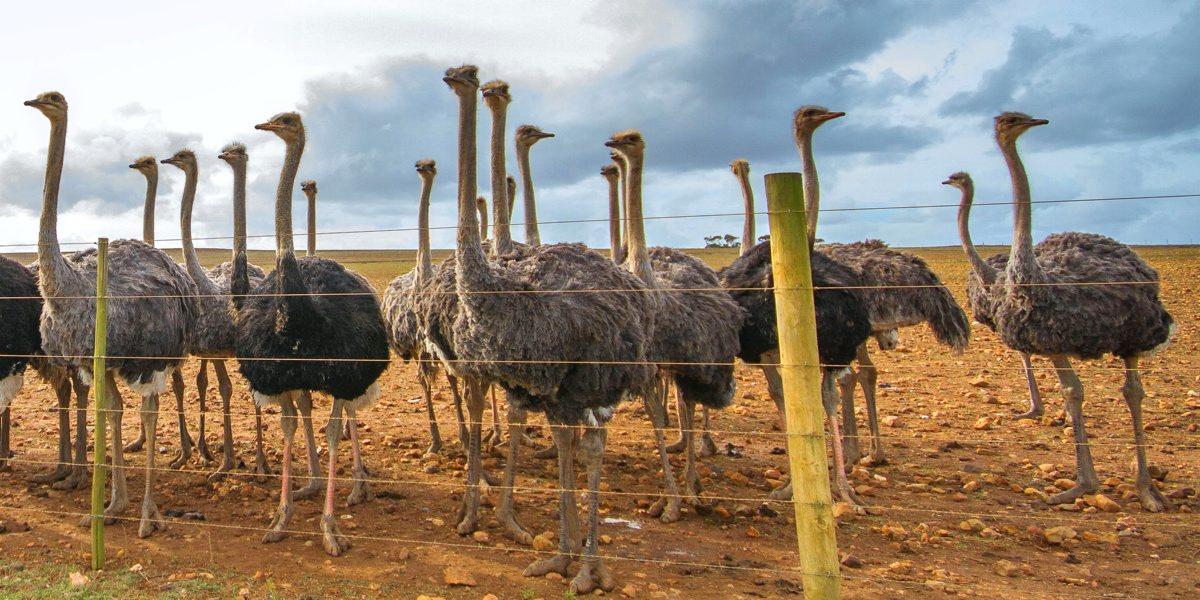 Ostriches in Oudtshoorn