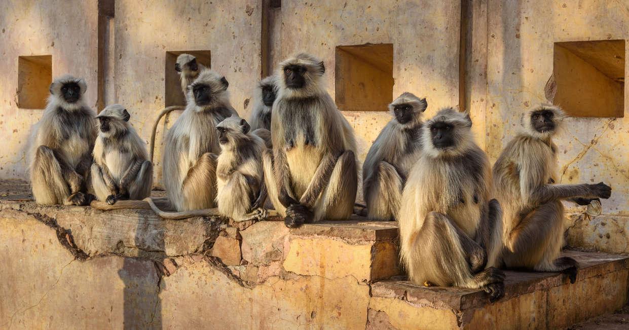 Grey langurs monkeys in Amber fort