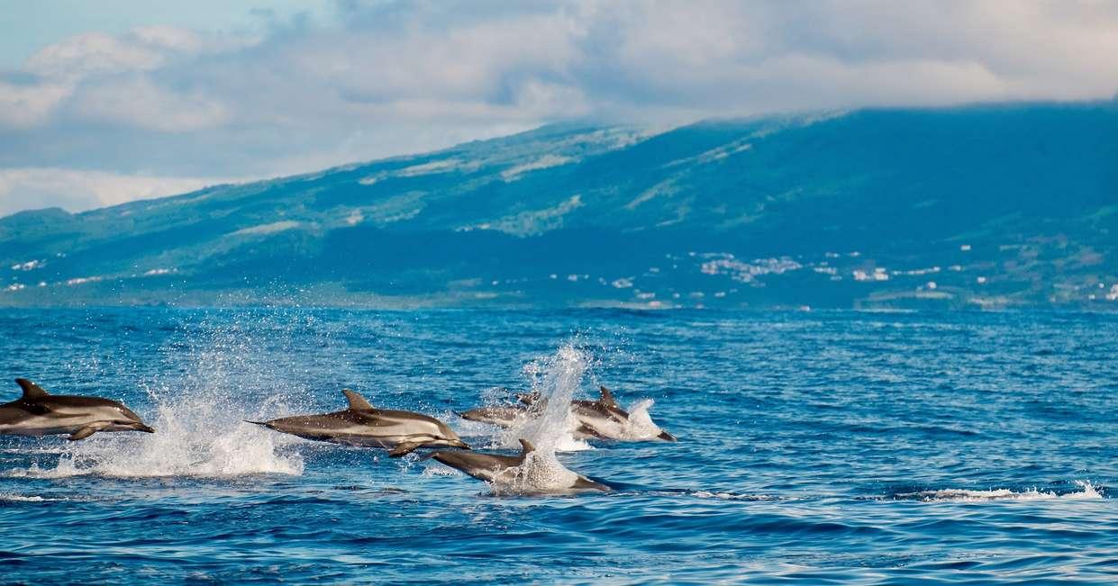 Atlantic striped dolphins
