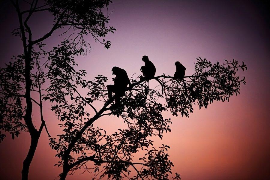 Proboscis Monkeys at sunset