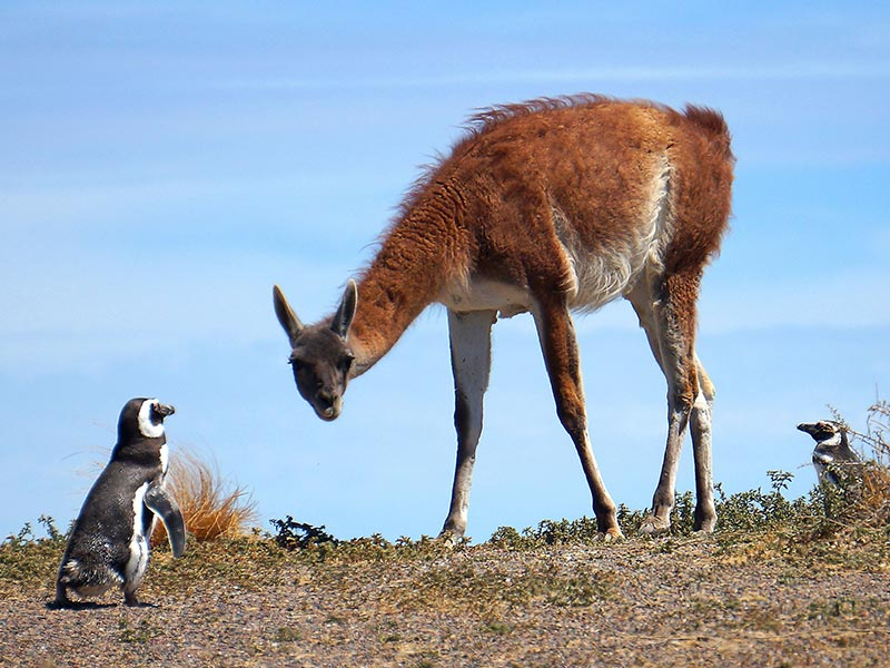 Penguin and Guanaco face off in Trelew
