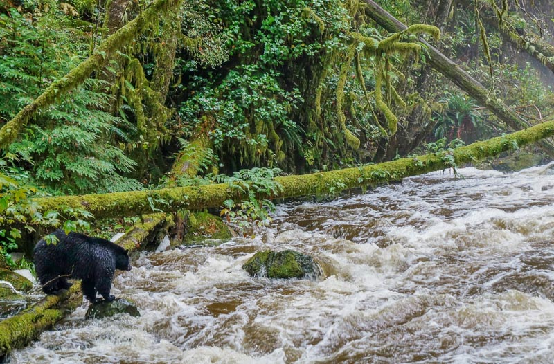 Black bear in the Pacific Rim National Park