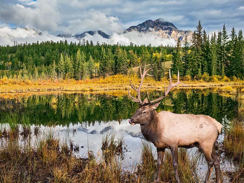 Deer in Jasper National Park