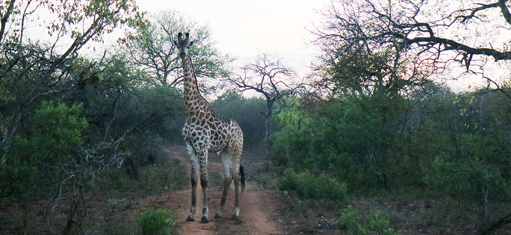 Giraffe at Mkhaya