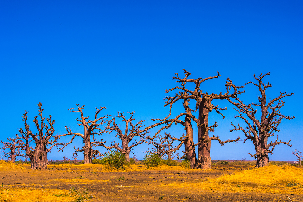 Baobab's of Senegal