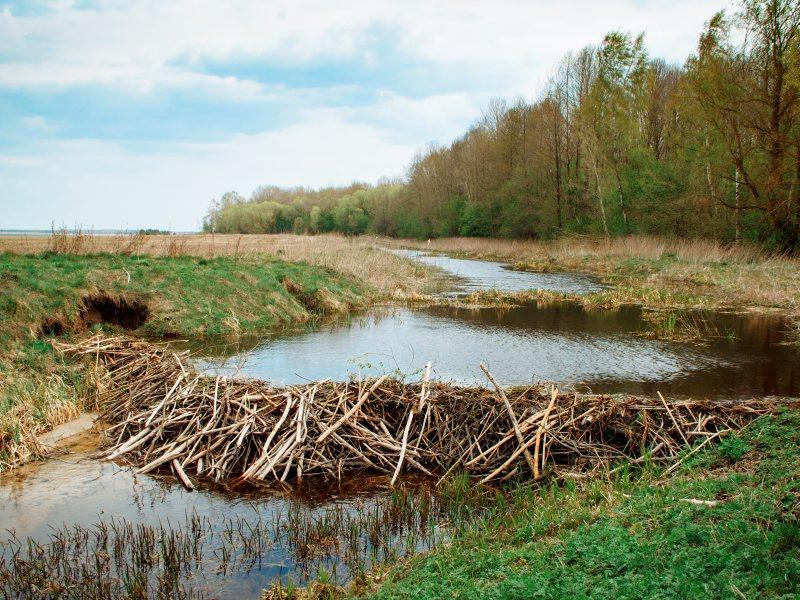 Beaver Dam in Belarus