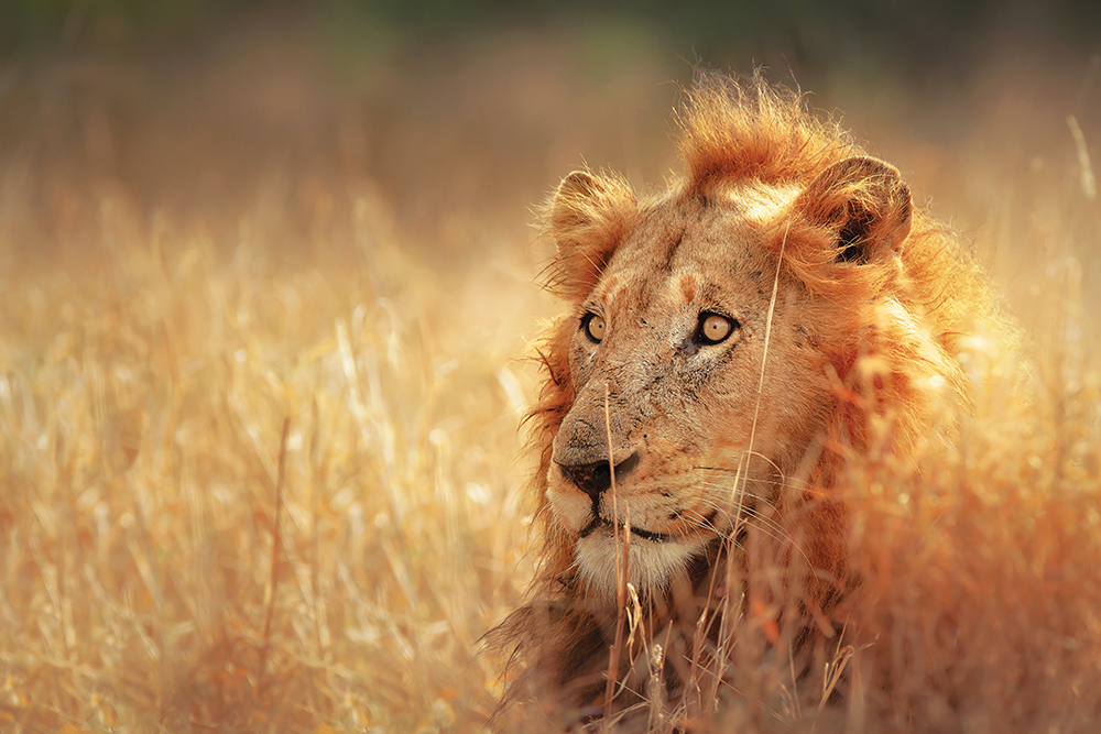 Watchful Lion