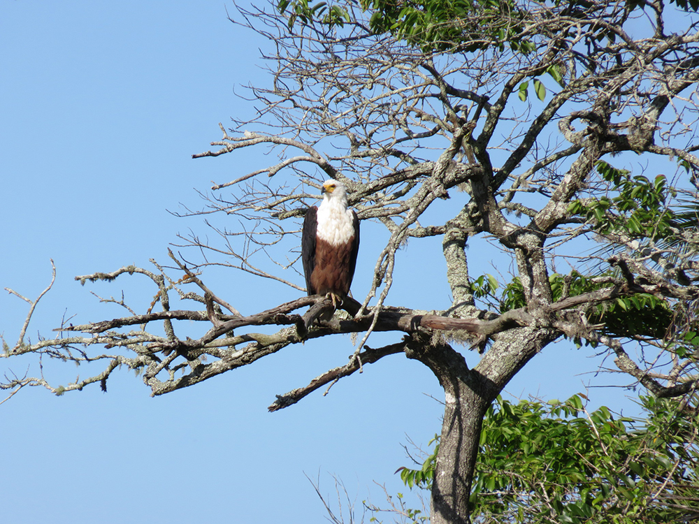 African Fish Eagle in iSimangaliso Wetland Park